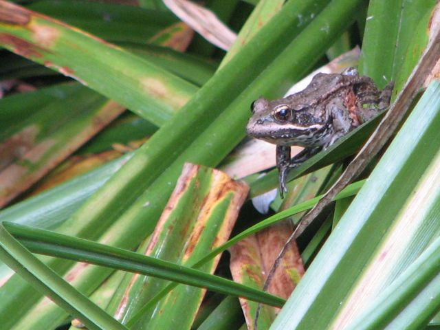 California Red-legged Frog, Rana Draytonii