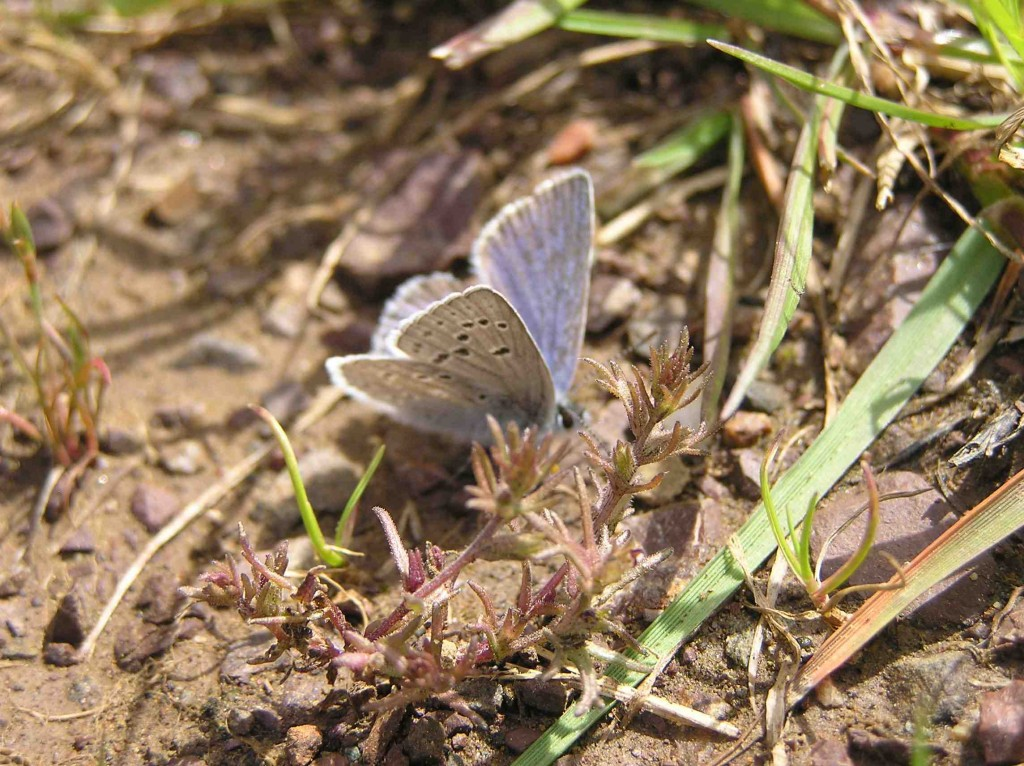 Mission Blue Butterfly Mudpuddling
